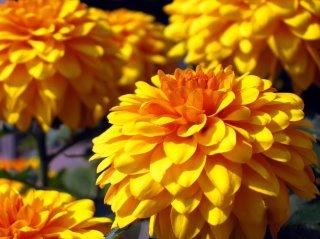 double petals dahliah