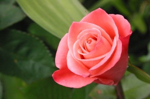 Dubai rose
