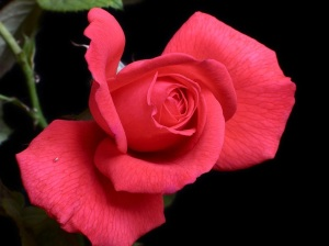 for me a pink rose